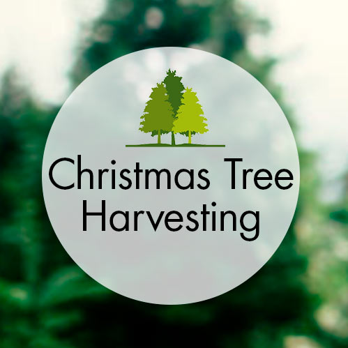 Christmas Tree Harvesting